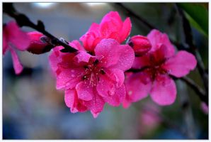 Peach Flower 2 by Purple-Dragonfly-Art
