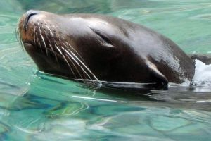 California Sea Lion by faolruadh