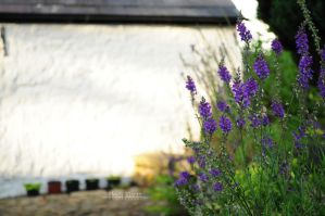 Purple flowers and Whitewashed shed by blackeyedcreep