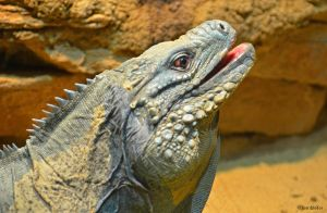 Laughing Iguana by TerribleTer