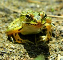 Froggy Front by SlateGray