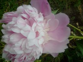 pink peony in my garden 2 by ingeline-art