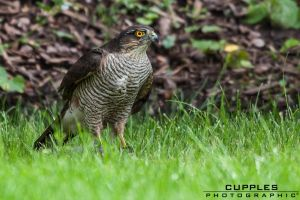 Sparrow Hawk by cupplesey