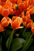 Orange Tulips by Giggle-Monster