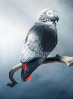 Grey Parrot by GavM