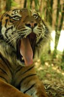 Yawning Tiger by meeshel99