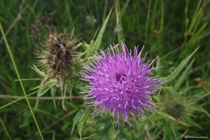 Thistle.. by AlfiBOh