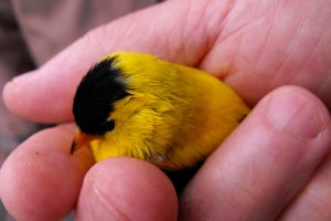 Goldfinch into the Hand by PixelGordon