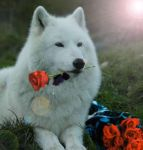 The Wolf With the Red Roses by HeartRaped