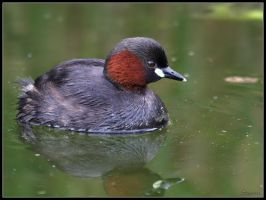 Little Grebe 2 by cycoze