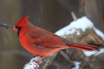 Northern Cardinal 17 by Gerryanimator