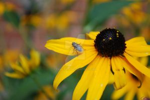 Fly on Black-eyed Susan 2 by Chalax91
