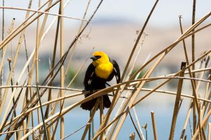 Yellow-Headed Blackbird by AshWind150