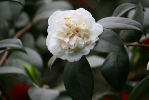 white filled camellia by ingeline-art