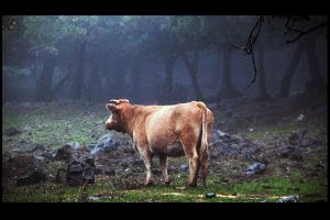 Cow by or95