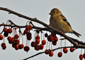 Goldfinch and berries by masscreation
