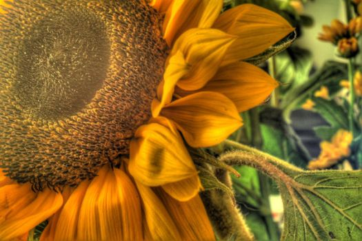 Sunflower HDR by Jimpawa