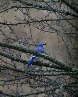 Blue Jays 1 by Crematia18