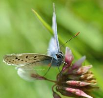 Common Blue #2 by EHilsdonPhotography