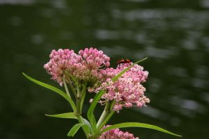 Ironweed by olearysfunphotos