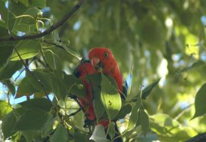 King Parrot by Karak-Crow