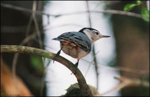Nuthatch by LisaCrowBurke