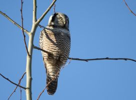 Northern Hawk Owl I by Kasionn