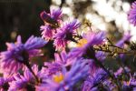 Autumn aster by rosaarvensis