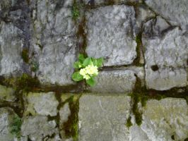 Primula vulgaris growing from the wall o_o by Dreamer-In-Shadows