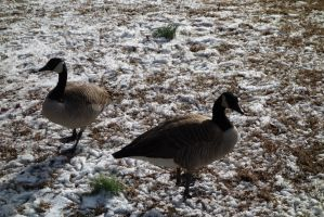 Geese10 by stockicide