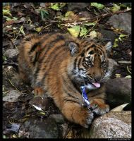Baby Tiger: Got Milk? by TVD-Photography