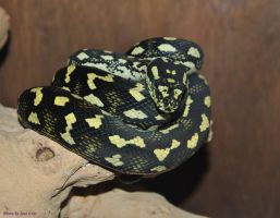 Jungle Carpet Python 2 by JayConstrictors12