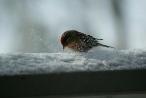 Common Redpoll by ChaseLee-LIA