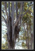 Forest Red Gum 1 by Purple-Dragonfly-Art