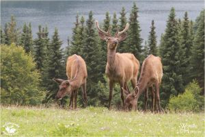 2012-59 Cervus canadensis sibiricus by W0LLE