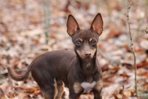 Chihuahua by eleutheria-stock