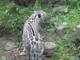 Snow Leopard 6 by Chocomix-Stock