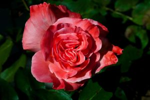 First Rose In Bloom by designerfied