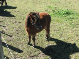 Animal Stock - Miniature Horse 3 by Spyderwitch