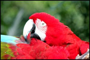 Grooming Macaw by mikewilson83