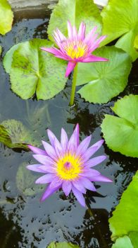 Waterlily5 by crystal-sand