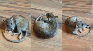 Agouti Rat Lifesize Mount SOLD by DeerfishTaxidermy