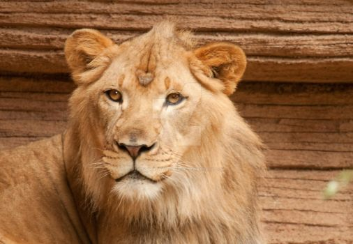 Lioness by Photography-by-Image