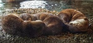 River Otters by Swinemouse
