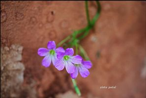 small pink petals by Zlata-Petal