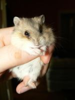 Mini Dwarf Hamster 3 by ShadedRain