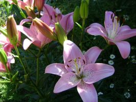 Lovely Lilies by iamwickedstupid