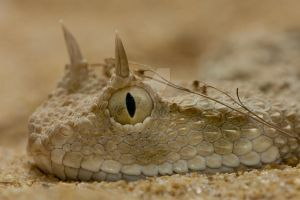 The Saharan Horned Viper by KrotovychOleh