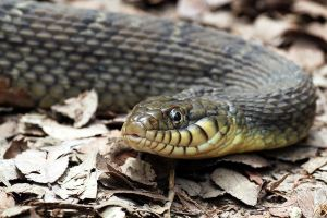 Yellow Bellied Water Snake by ribbonworm