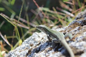 lizard by CapturedForInfinity